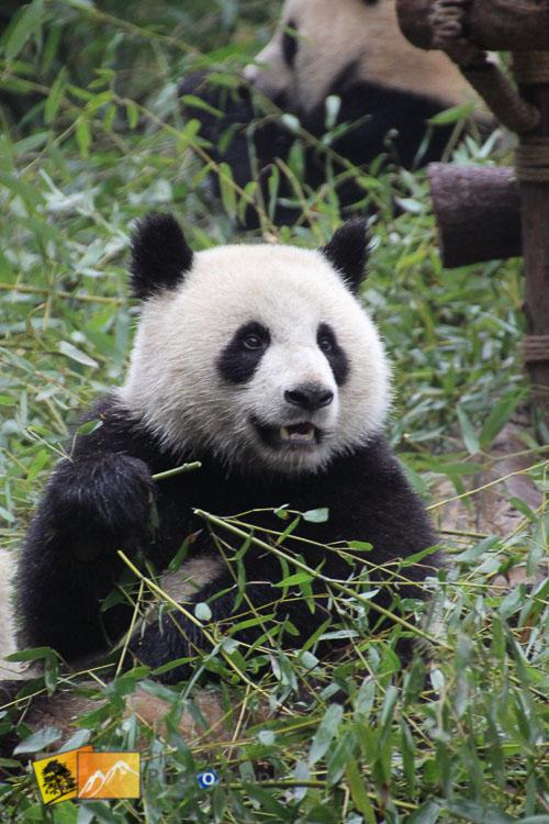 great panda of china sitting up