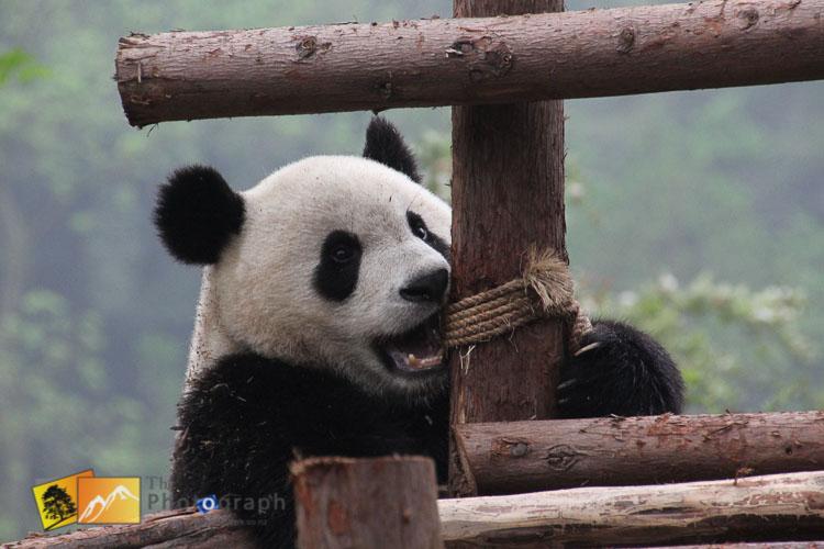 great panda of china climbing on platform