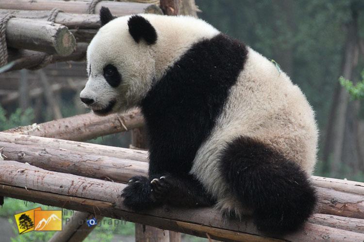 great panda of china sitting on platform
