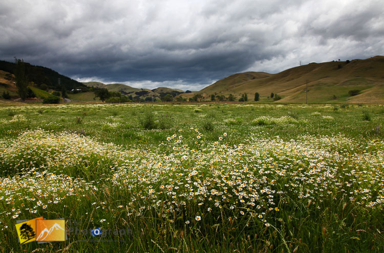 Wild flower field in Hawkes bay.