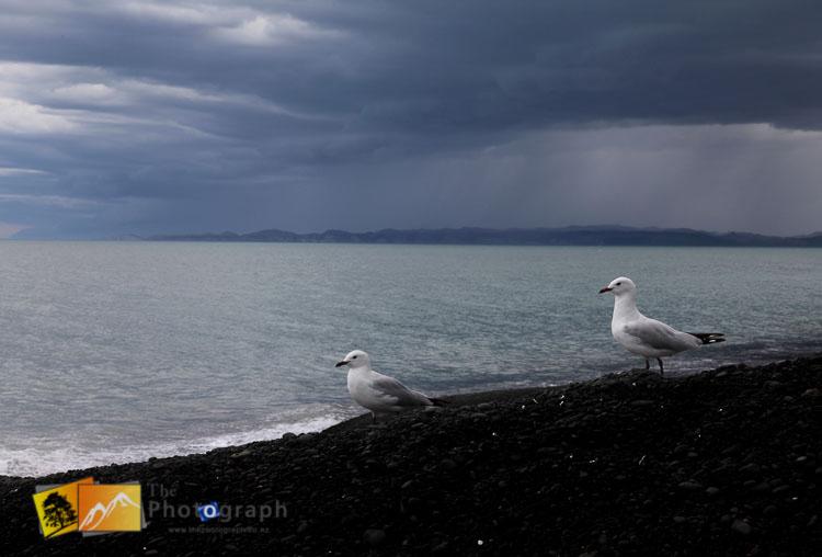 Seagulls on Hawkes bay beach.