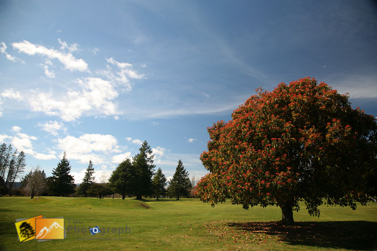 New Zealand Pohutukawa tree.