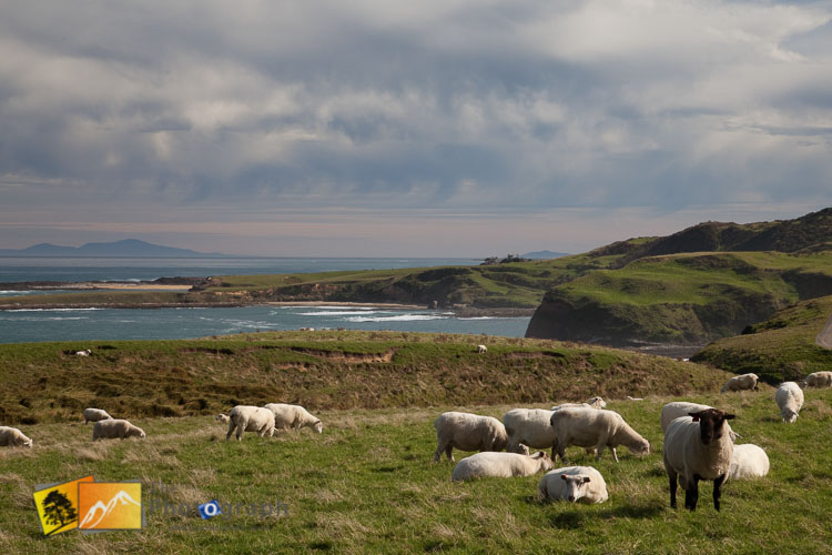 Sheep at Slope point.