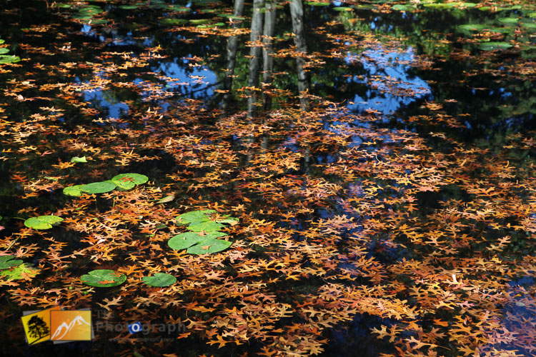 Autumn leaves in the pond.