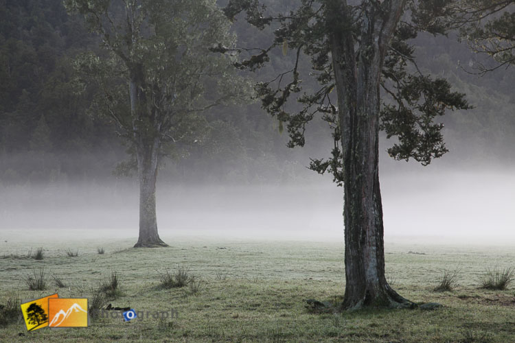 Trees in the mist near lake Matheson.