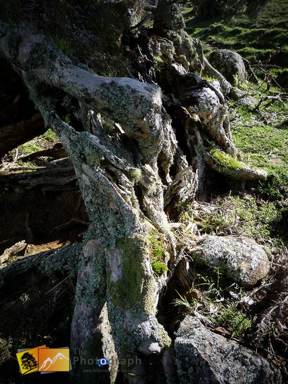 Waiheke island tree.